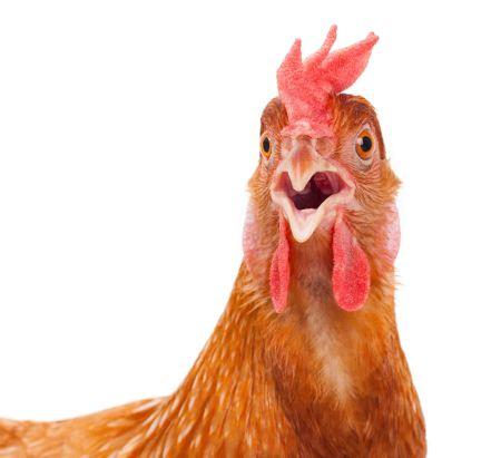 chicken3.jpg